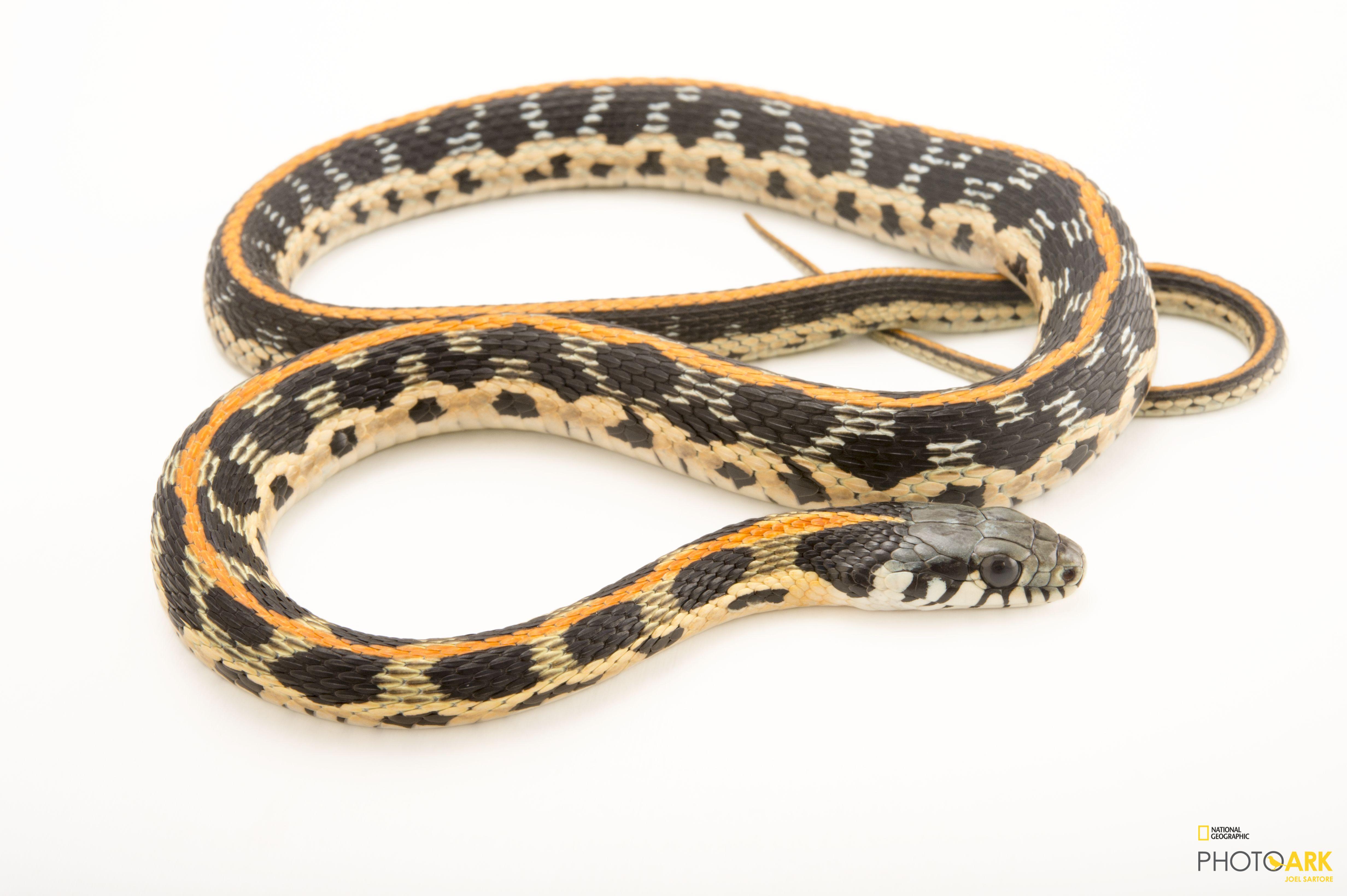 Photo Ark Home Eastern Blackneck Garter Snake | National