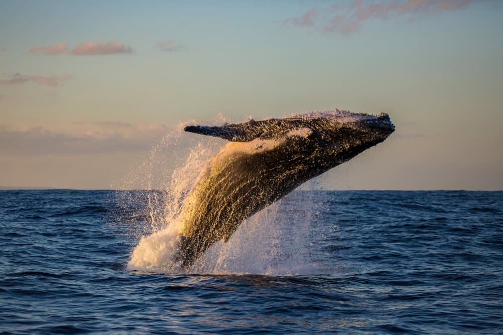 Unconventional travel ideas for all the family in 2019: Humpback whale bathed in golden light off Sydney Harbour during sunset