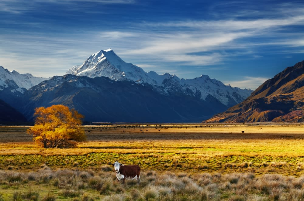 Unconventional travel ideas for all the family in 2019: Farmland with grazing cows and Mount Cook on background, Canterbury, New Zealand