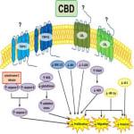 Κανναβιδιόλη (CBD) και Γλοιοβλαστώματα, Dr Allan Frankel 7