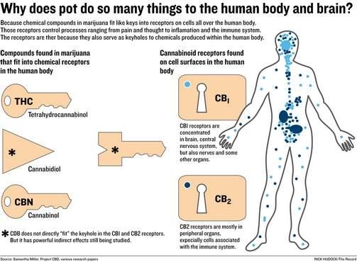 Πώς Λειτουργεί η Κανναβιδιόλη (CBD) 1