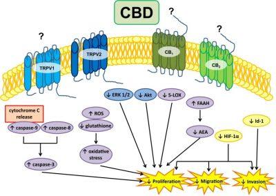 Κανναβιδιόλη (CBD) και Γλοιοβλαστώματα, Dr Allan Frankel