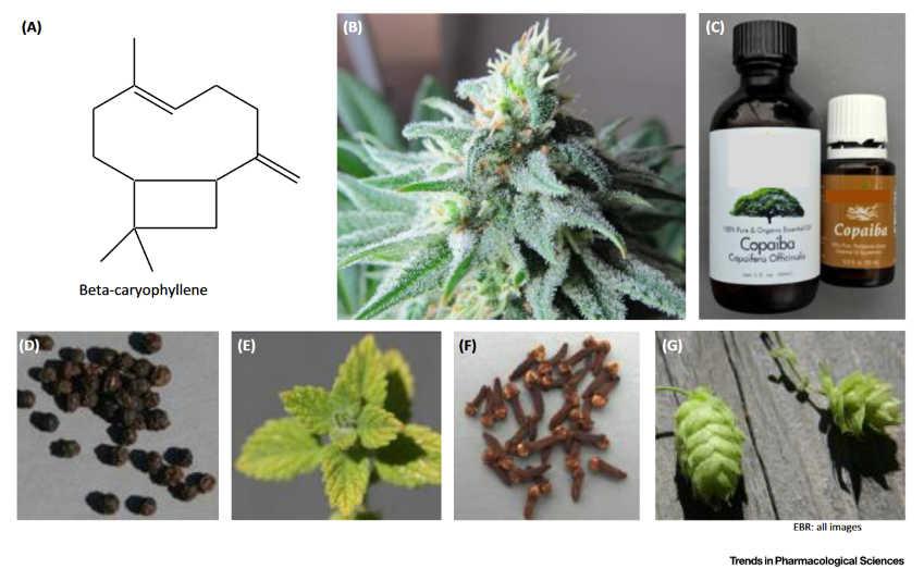 Φυτά και Ενδοκανναβινοειδές Σύστημα 4