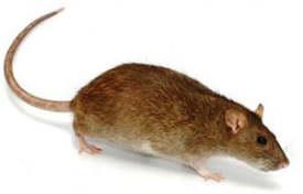 Lutte contre le Rat Brun, Rat d'égoût dans l'essonne et en Ile de France