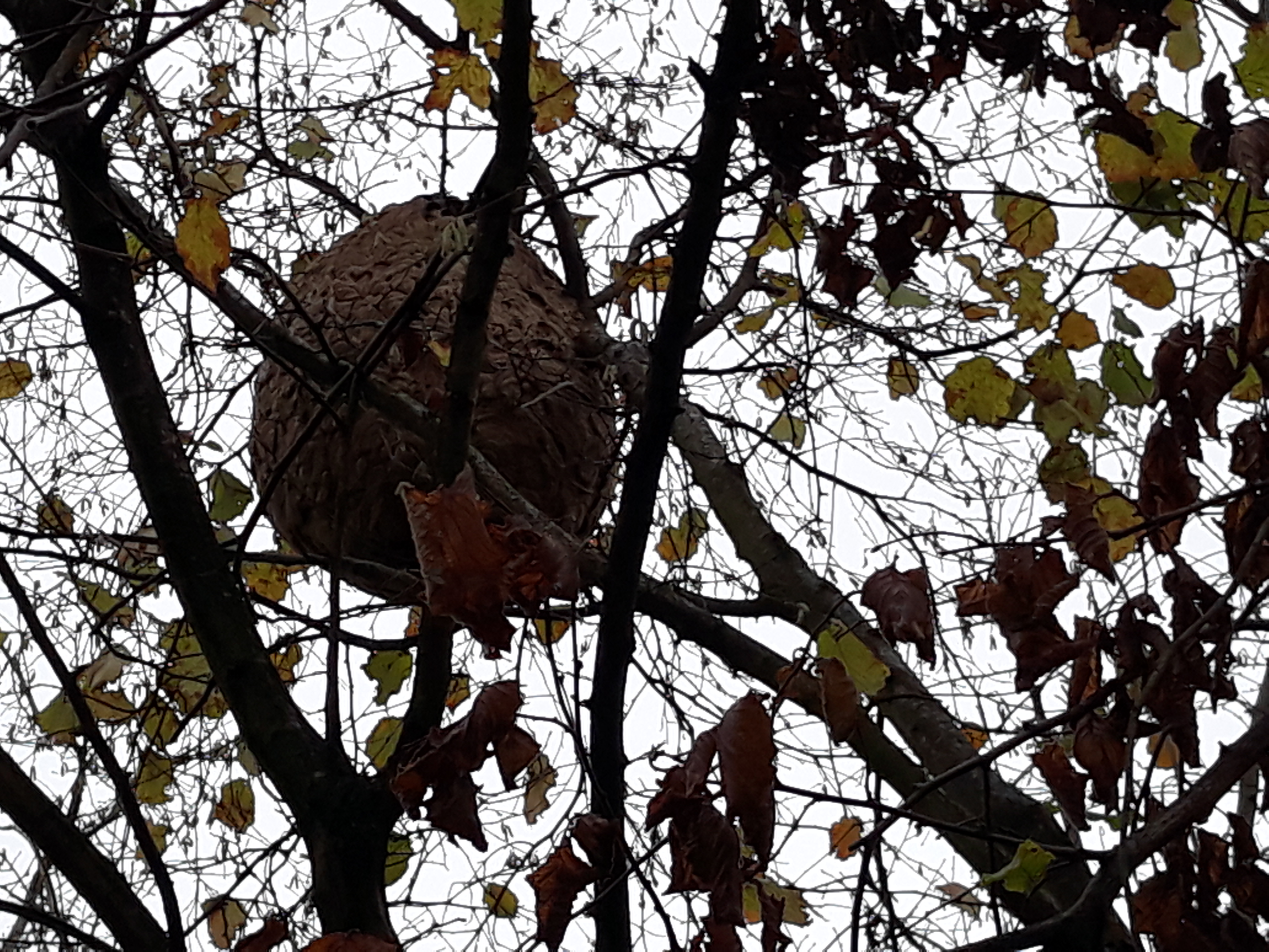Destruction nid de guêpes