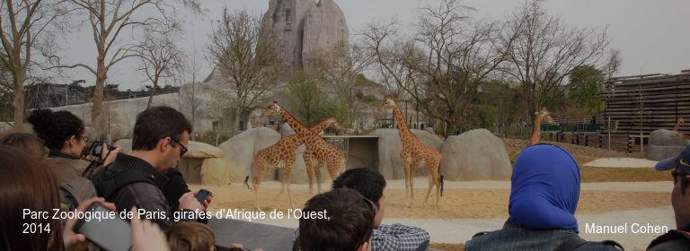 Parc Zoologique de Paris, girafes d'Afrique de l'Ouest, 2014 Manuel Cohen