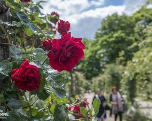 Roseraie du Val de Marne, l'Haÿ-les-Roses 2015 CD94