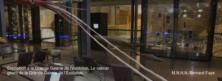 Exposition à la Grande Galerie de l'évolution. Le calmar géant de la Grande Galerie de l'Évolution. M.N.H.N./Bernard Faye