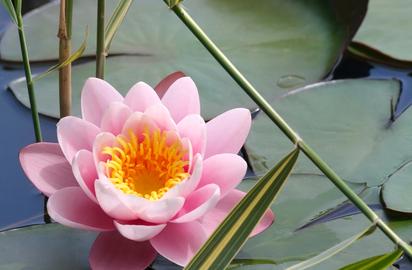 Lotus Benefits Precautions And Dosage 1mg