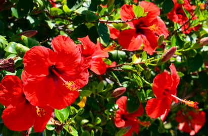 Hibiscus Benefits Precautions And Dosage 1mg
