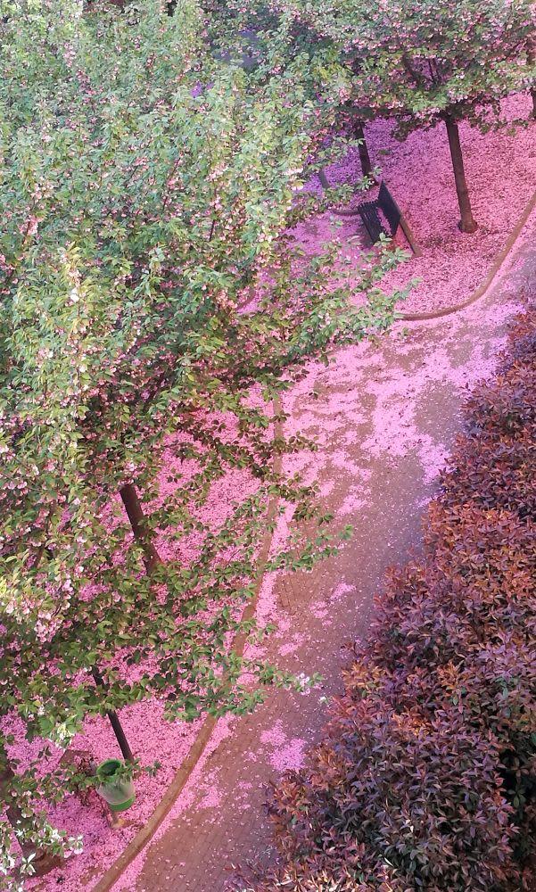 Fotografia di petali rosa del parco sotto casa di Stefano Caggiano