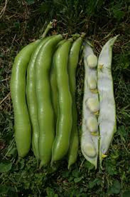 fresh broad beans 1kg