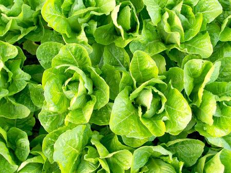lettuce each