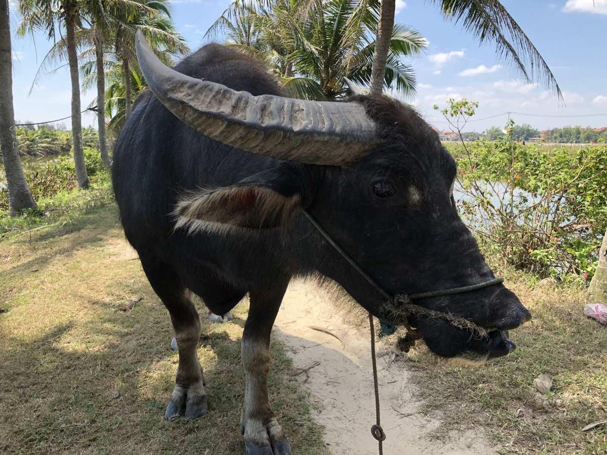 We met a buffalo
