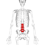 Position of human lumbar vertebrae
