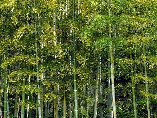 Bamboo#5