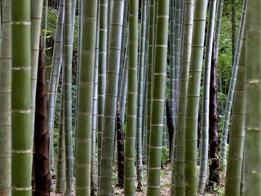 Bamboo #1