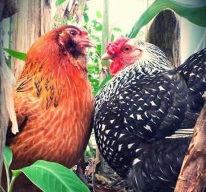 chickens1_mewsht