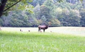 Elk herd in Great Smoky Mountain National Park