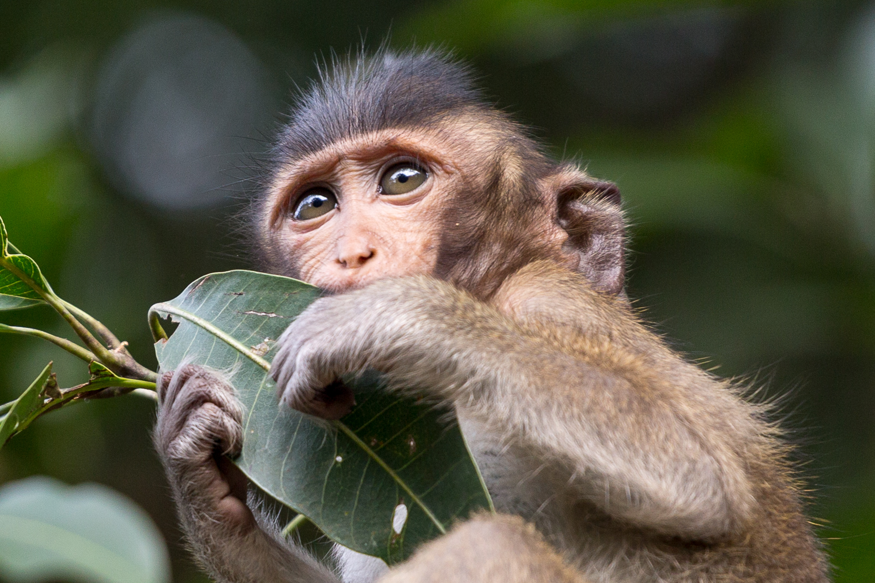 Wild Monkey in Angkor Wat