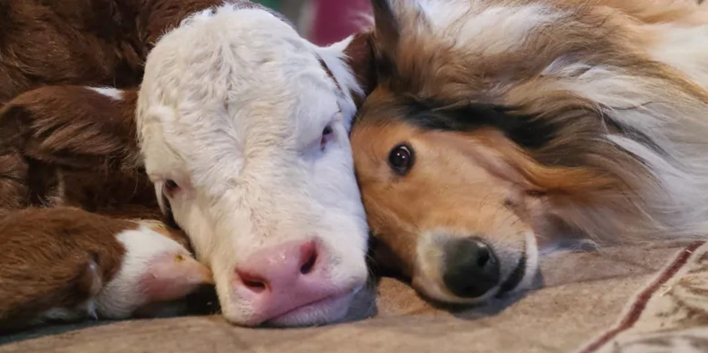 Cuddling in Freezing Temperatures, Newborn Calf and Border Collie Become Adorable Best Friends