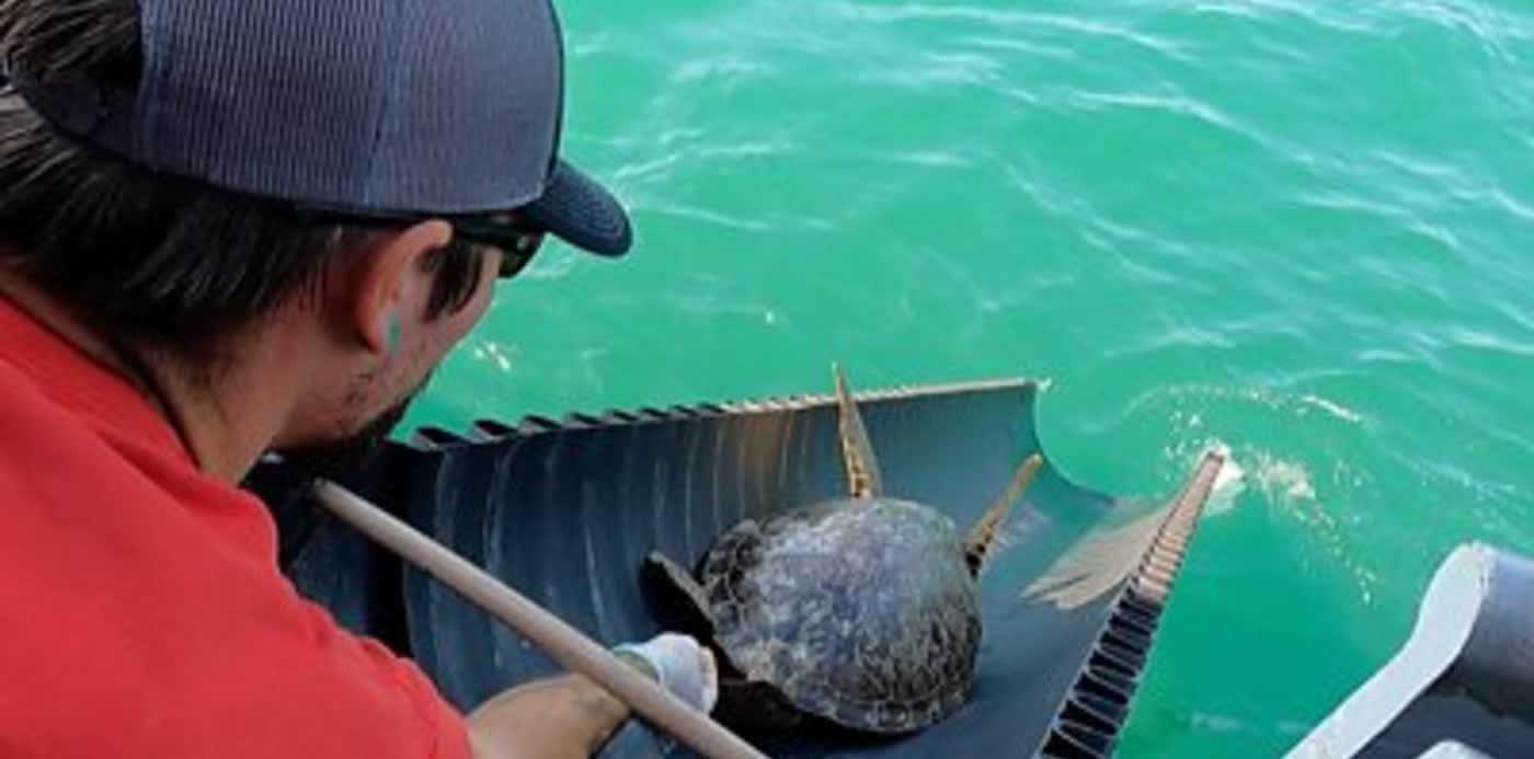 Watch 2,200 Cold-Stunned Turtles Being Released by Volunteers Back Into the Gulf