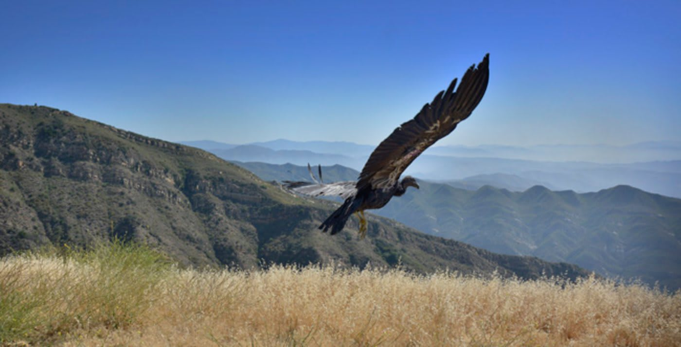 Endangered Condors to Return to Northern California Skies After Nearly a Century