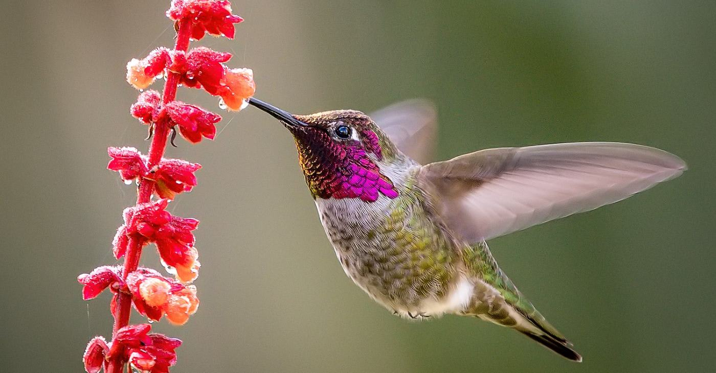 'Like a Beautifully-tuned Instrument': 2000 Microphones Unlock the Mystery of Why Hummingbirds Hum