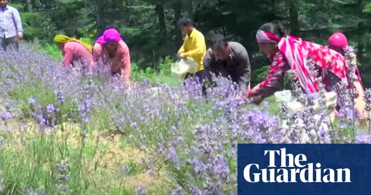 Purple revolution: India's farmers turn to lavender to beat drought