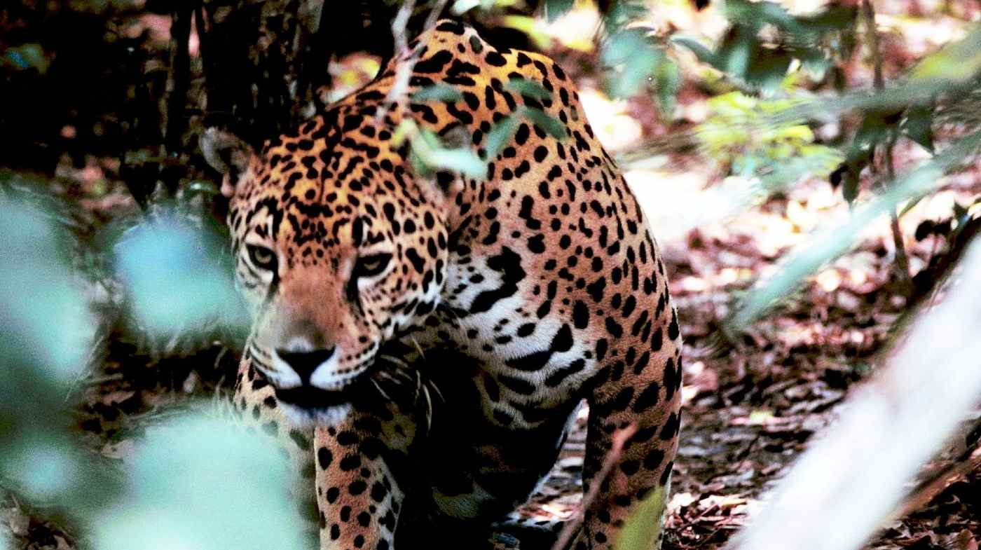 230,000 Acres of Tropical Rainforest Protected as Biodiversity Hotspot For Jaguars in Belize