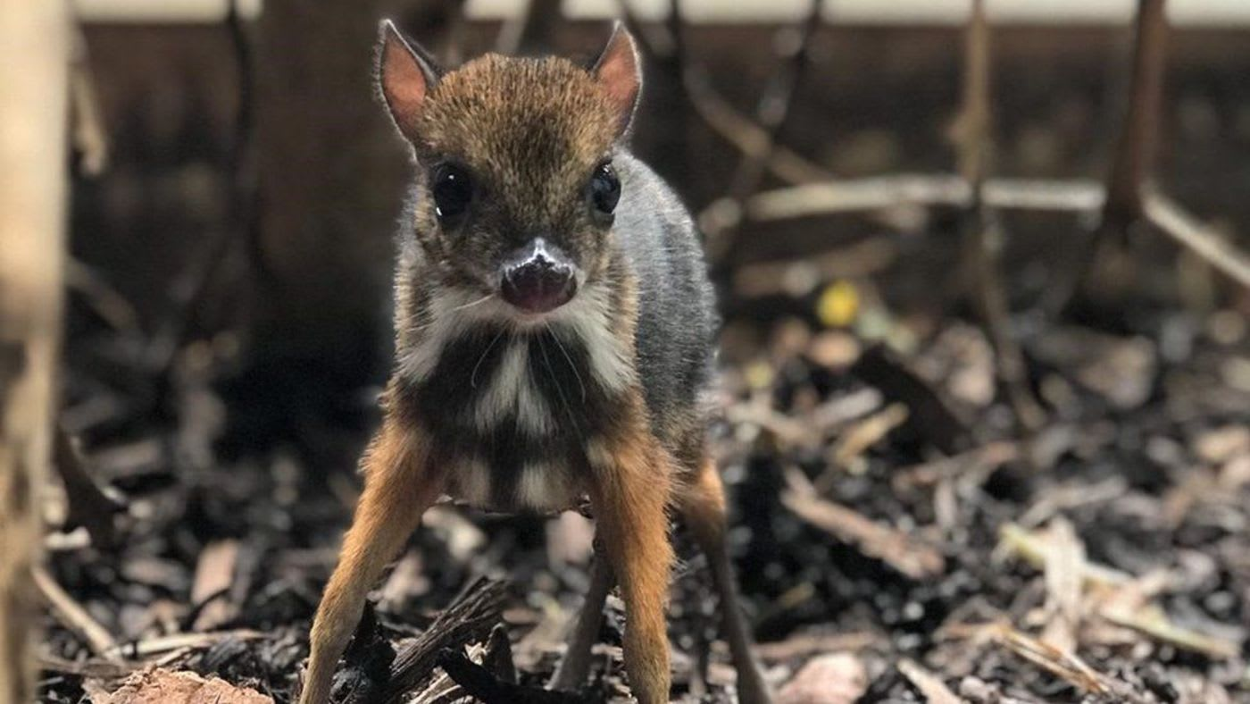 Tiny Mouse Deer Born at English Zoo is 'the height of a pencil' — And Adorable