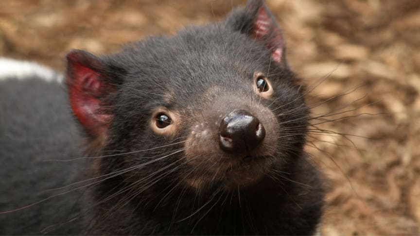 First Tasmanian Devils Born on Australia's Mainland After 3,000 Years