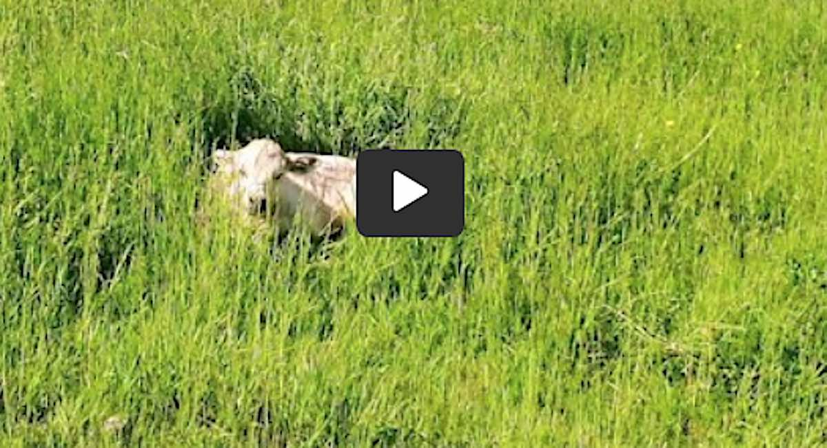 Concerned Farmer Uses Drone to Check on Sick Calf