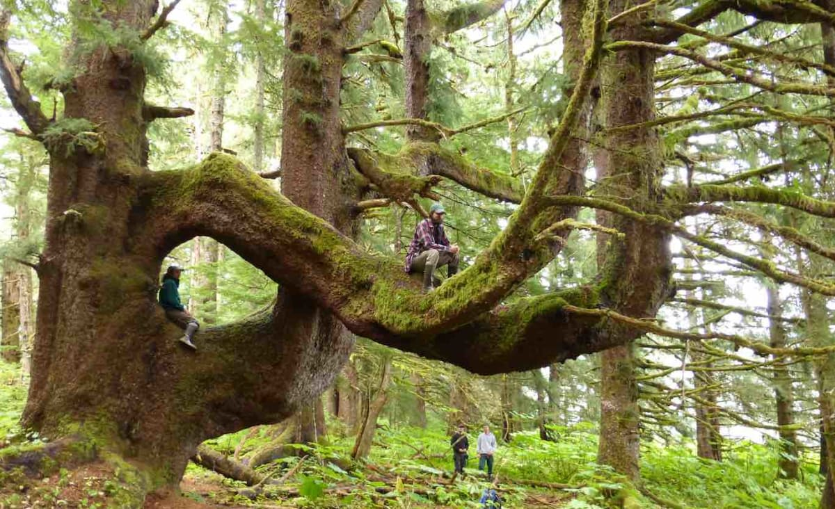 The US Halts Old-Growth Timber Sales in World's Largest Remaining Temperate Rainforest