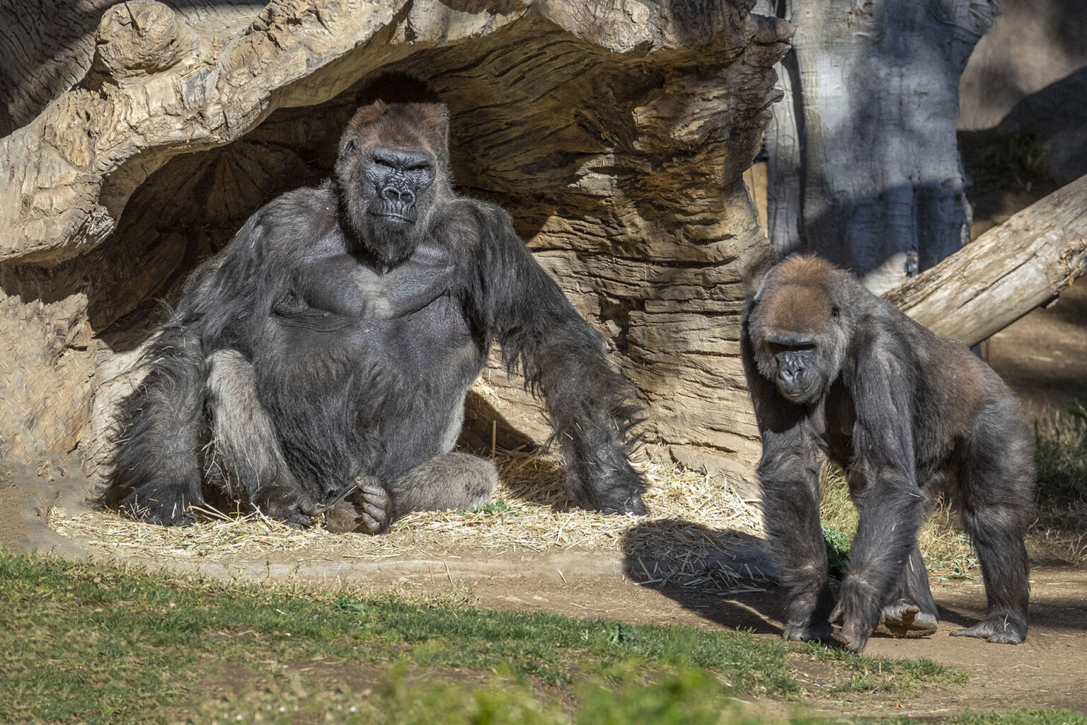Gorilla Troop at the San Diego Zoo Test Positive for COVID-19 - Breaking911