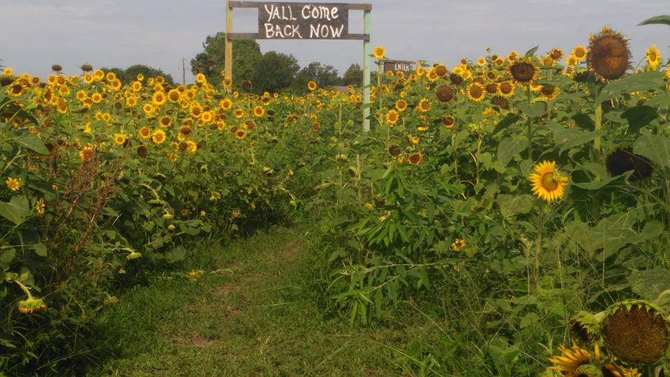 There's A Magical Sunflower Field Tucked Away In Beautiful Florida