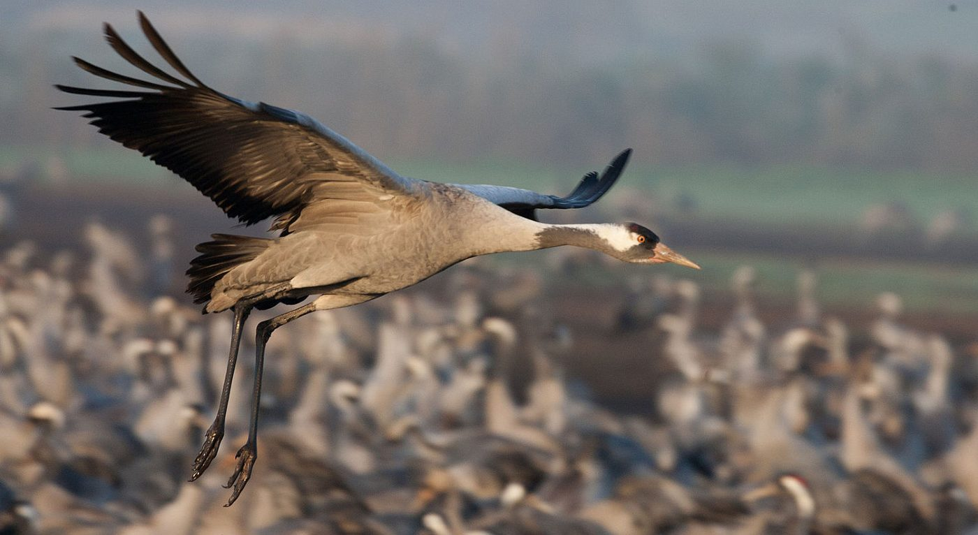 400 Years After Being Wiped Out by Hunters Britain's Wild Cranes Make a Comeback
