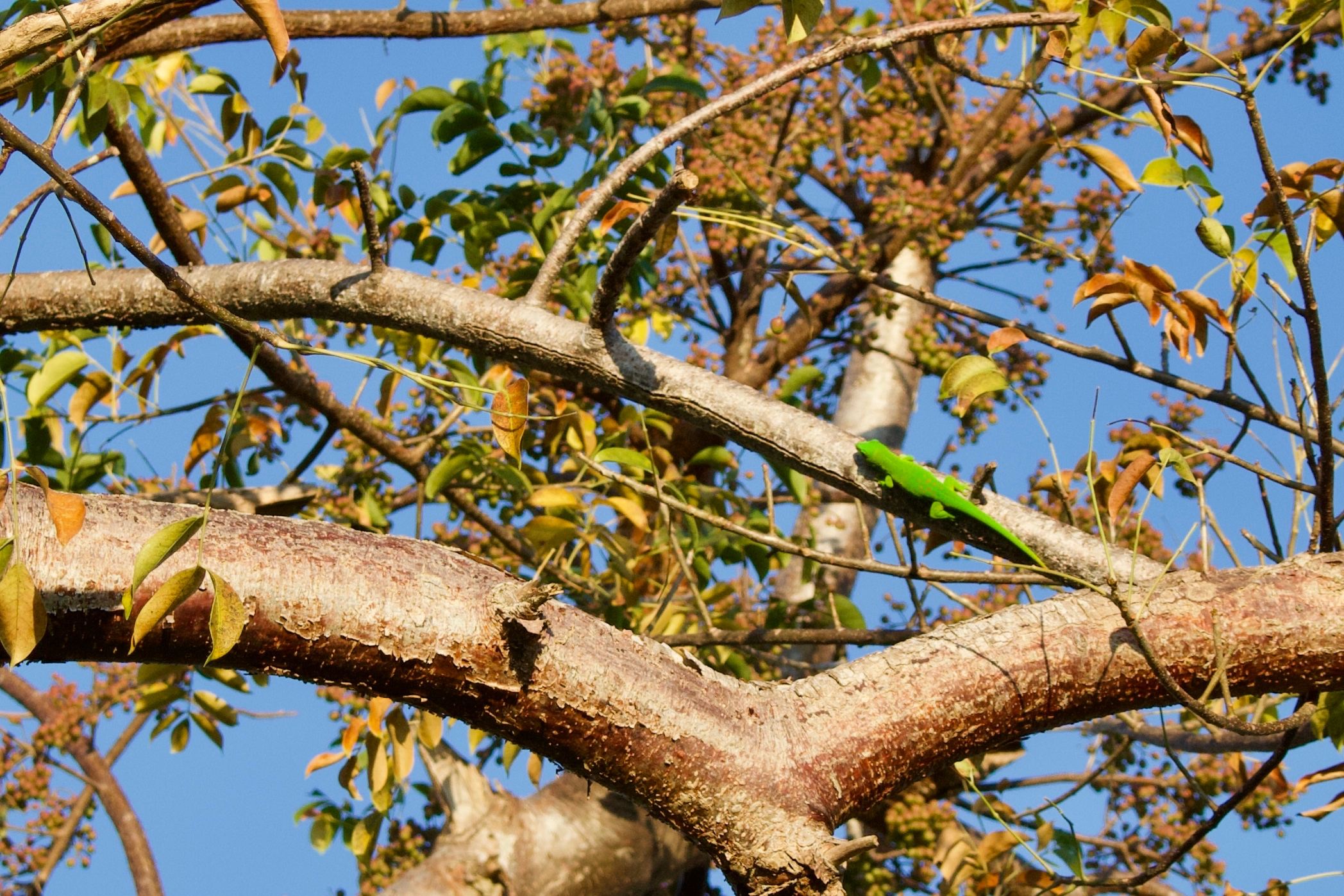 green gecko on a dull tree
