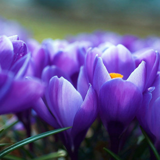 2016 Pulte Stock Images, SeasMain_202_Spring; Close-Up Of Purple Tulips Blooming Outdoors