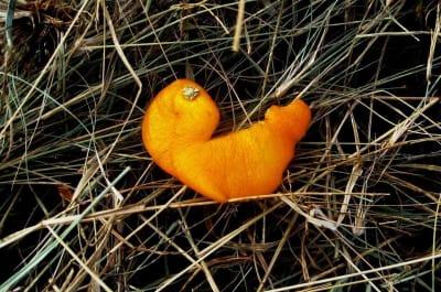 pomerancova-kura_e2swbv