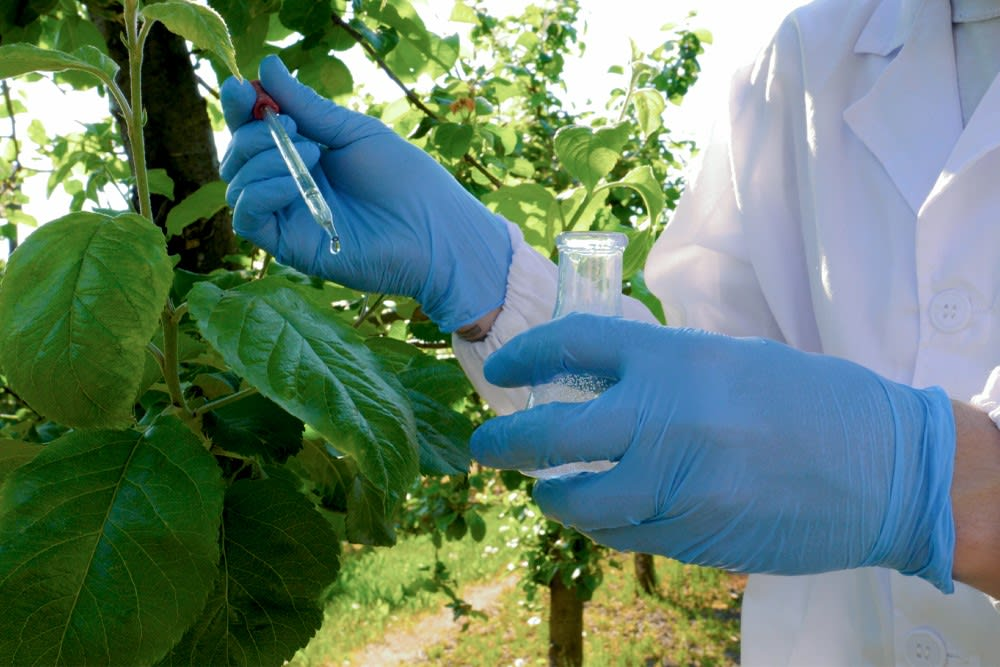 A researcher tests kratom leaves for peak maturity