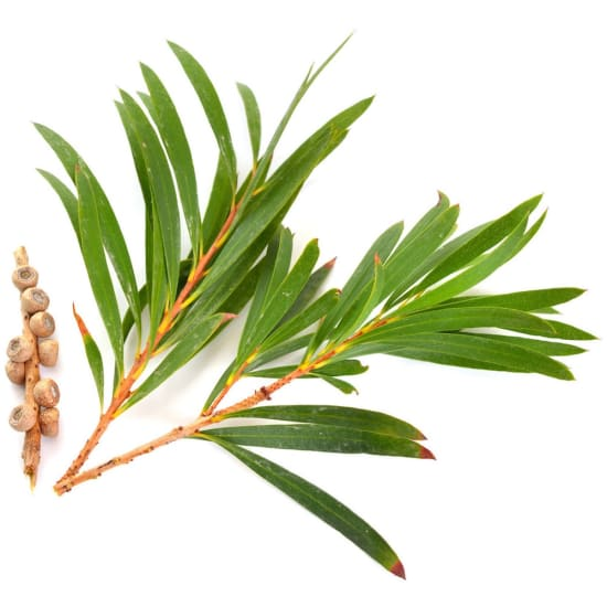 A cutting of tea tree on a white background