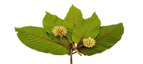 Wild Kratom Leaves