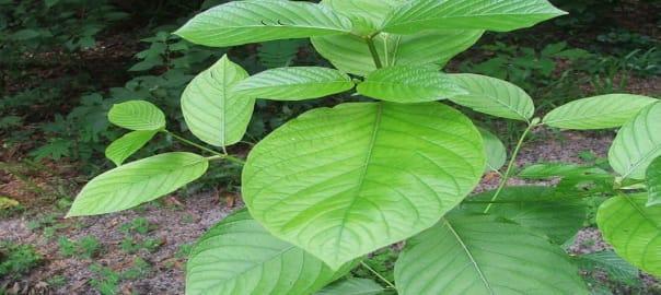 Healthy Green Kratom Plants