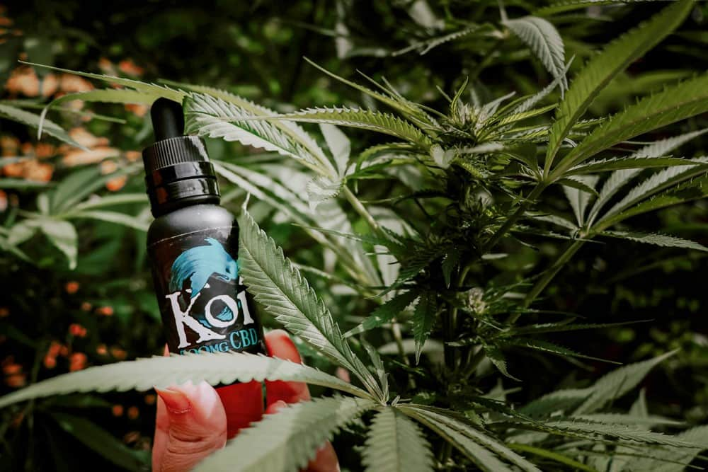 A bottle of Koi CBD among hemp leaves
