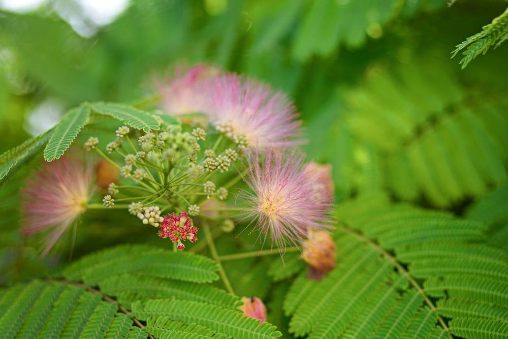 A flowering Mimosa Hostilis tree
