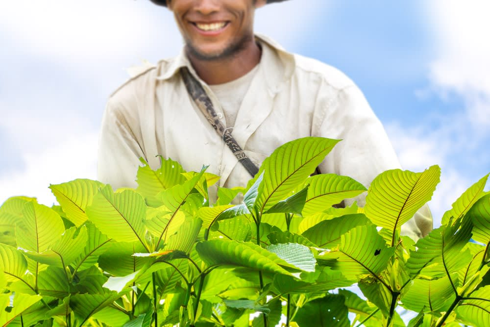 An eco-farmer looking at his eco-friendly crops, like kratom!