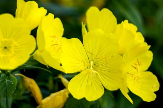 Vibrant yellow evening primrose flowers on a green background