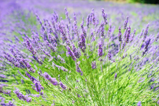 A field of lavender on a sunny day