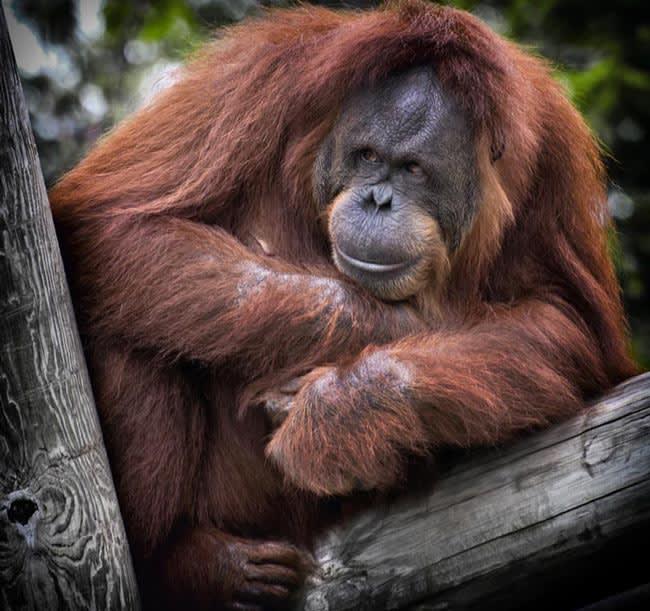 An orangutan sitting in a tree